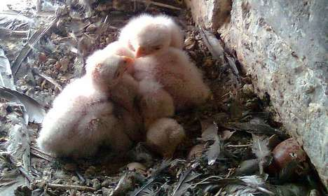Vienna's kestrels going hungry