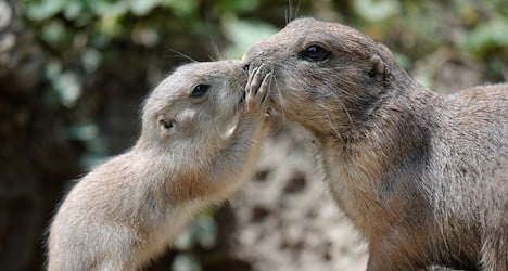 Zoo introduces new prairie dogs