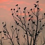 Lasers used to target crow plague