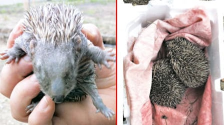 Abandoned baby hedgehogs rescued