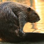 Family attacked by beaver whilst paddling