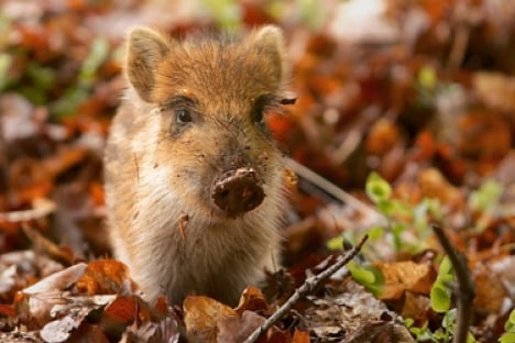 Youths confess to baby boar torture