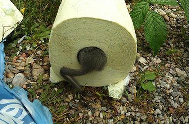 Dormouse found in pack of toilet paper