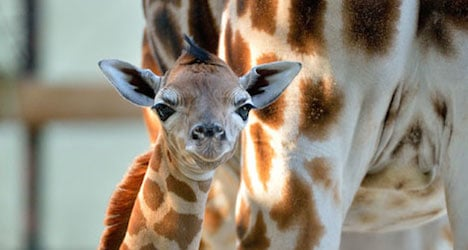 Giraffes to join the army