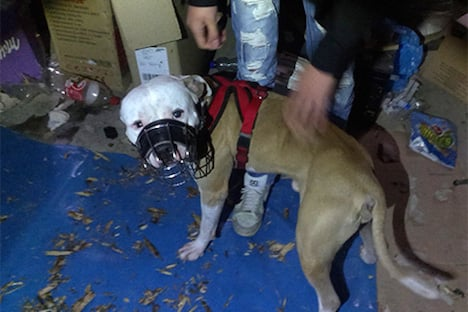 Neglected pitbull locked in basement in Vienna
