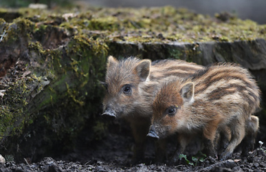 Boys get three months for baby boar torture