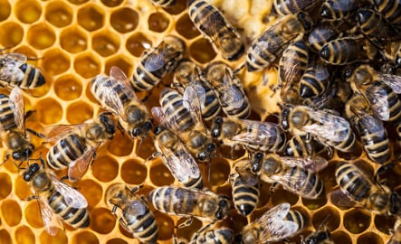 Honeybees at risk from climate change