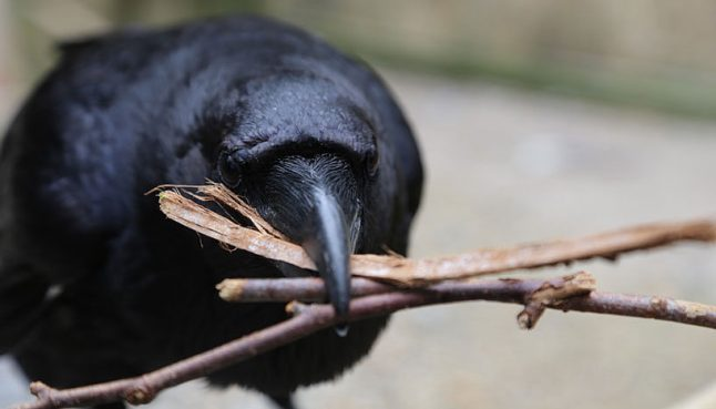 Ravens work together and punish cheats