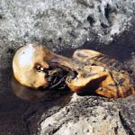 Iceman's bugs shed light on human migration