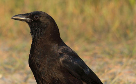 Thousands of crows fair game for Austrian hunters