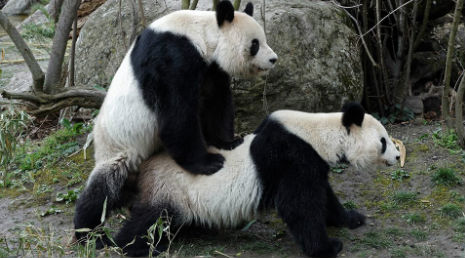 Pandas get caught in the act in Vienna