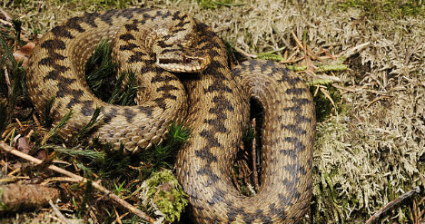 Poisonous viper bites six-year-old in Austria