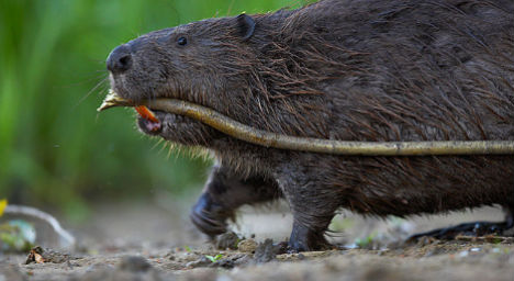 Beavers cause €750K worth of damages in Austrian town