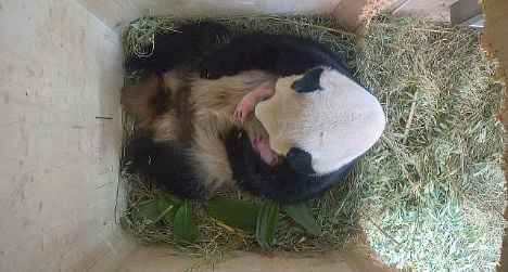 Panda gives birth to twins in Vienna Zoo