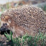 Hedgehog rescue by fire service