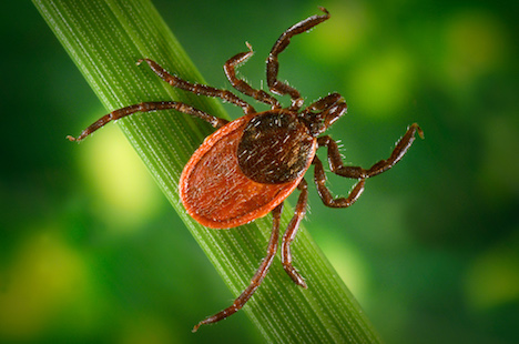 A promising treatment for Lyme disease