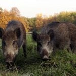 British ambassador bruised after boar gives chase in Vienna park
