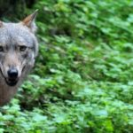 Does Austria really have a wolf problem?