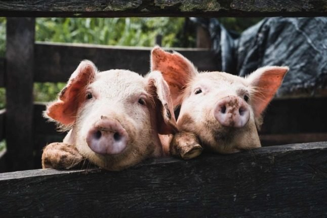The importance of pigs in Austria: From 'grief bacon' to your inner swine dog