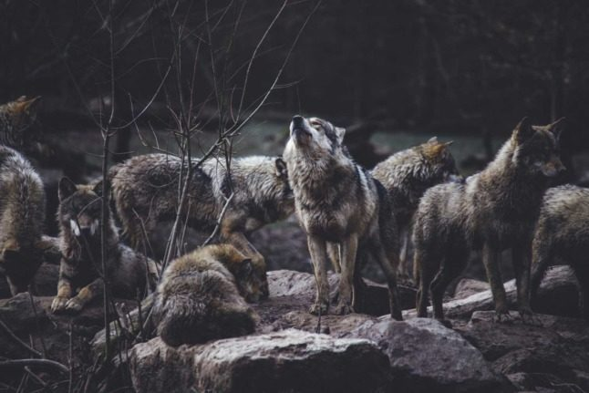 'Problem animals': Why are wolves disappearing across Austria?