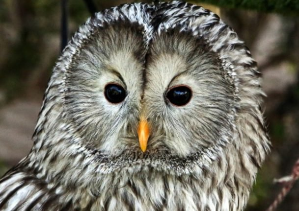 The rare Ural owl is doing well in Austria